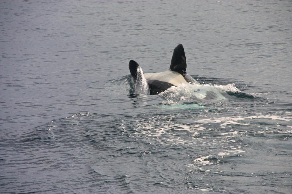 Orca Spiel