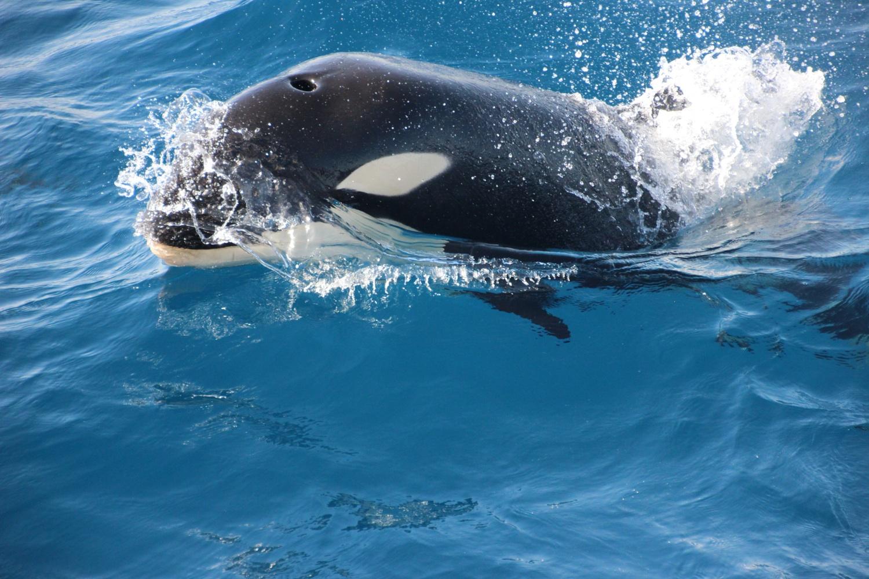 orca spielen