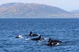 Orca Familie