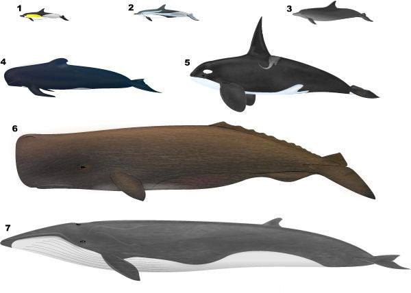 Species Comparison - Whales and Dolphins in the Strait of Gibraltar